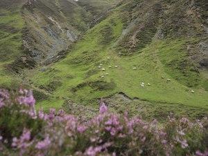 Schafe auf den Cairngorms-Hängen