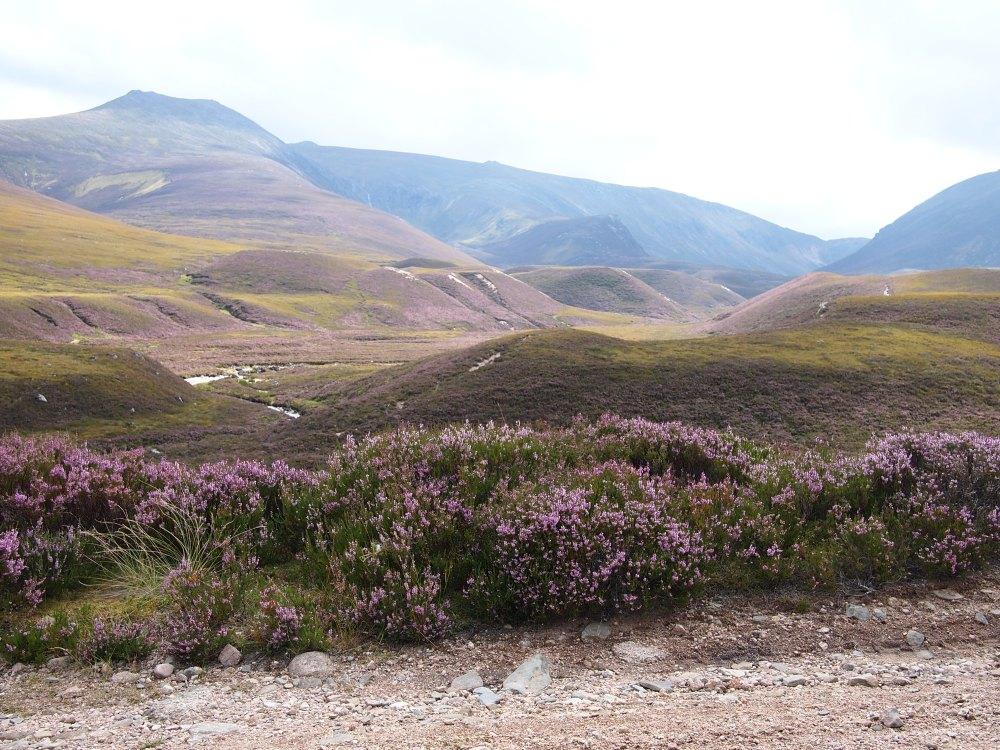 Durch das blühende Heidekraut schimmern die Hügel der Highlands lila: Blick in das Slochd Mor auf dem Weg von Allt Iomadaigh zum Loch Avon.